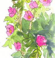 Block-Island-Beach-Roses